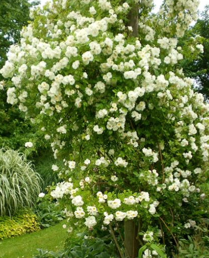 Best 20 rosier blanc ideas on pinterest les rosiers - Rosier grimpant sans epine ...