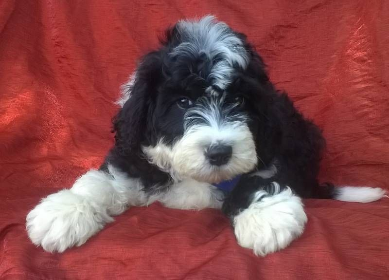 Mini Aussiedoodle Puppies For Sale Ohio References