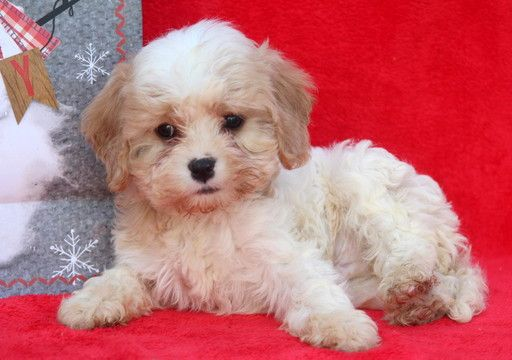 Cavachon Puppy For Sale In Mount Joy Pa Adn 53911 On Puppyfinder Com Gender Male Age 10 Weeks Old Pets Cavachon Puppies Cavachon Puppies For Sale