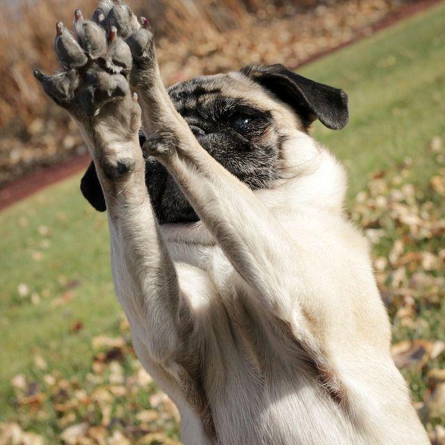 42 52 Put Your Paws Up Pugs Kisses Pug Love Pug Life