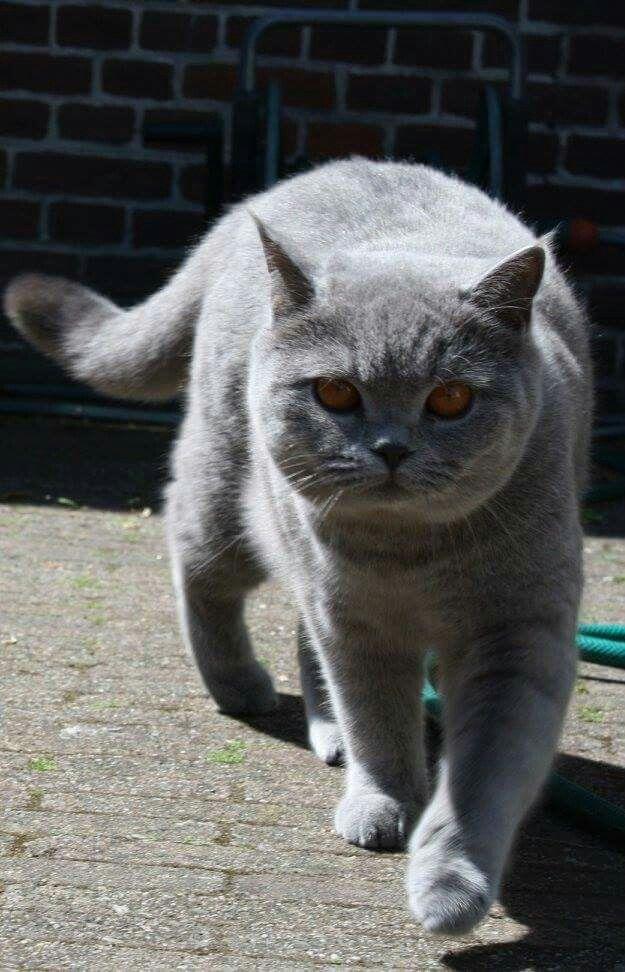 1 Year Old British Shorthair Jabik British Shorthair Cats British Shorthair Grey Cats