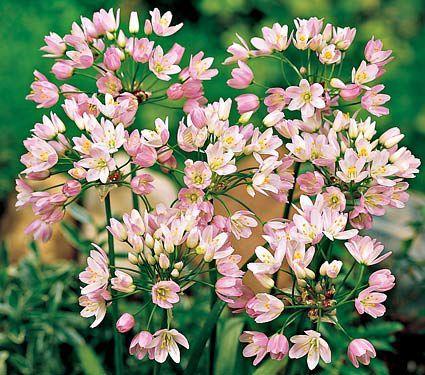 White Flower Farm S Blog White Flower Farm Allium Flowers Bulb Flowers