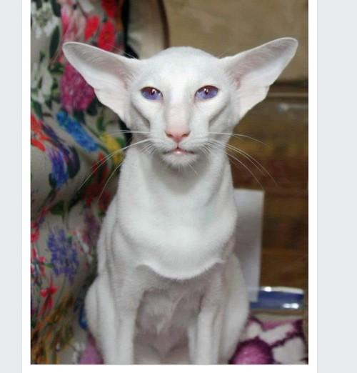 Speaking of big ears..... Oriental shorthair cats, Rare