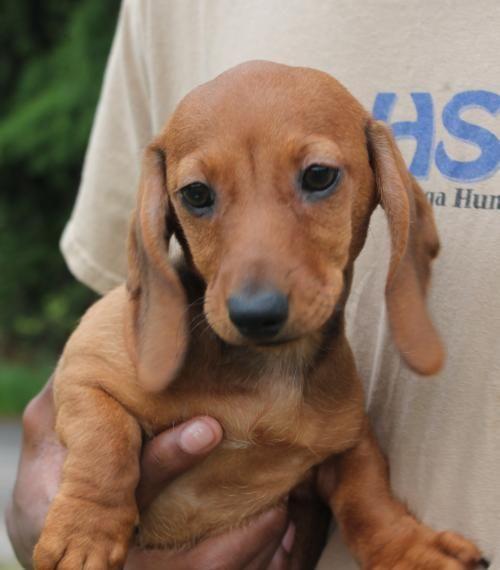 Meet Isaiah 22273, a Petfinder adoptable Dachshund Dog