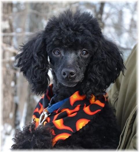 Love A Black Poodle Poodle Puppy Poodle Cute Dogs