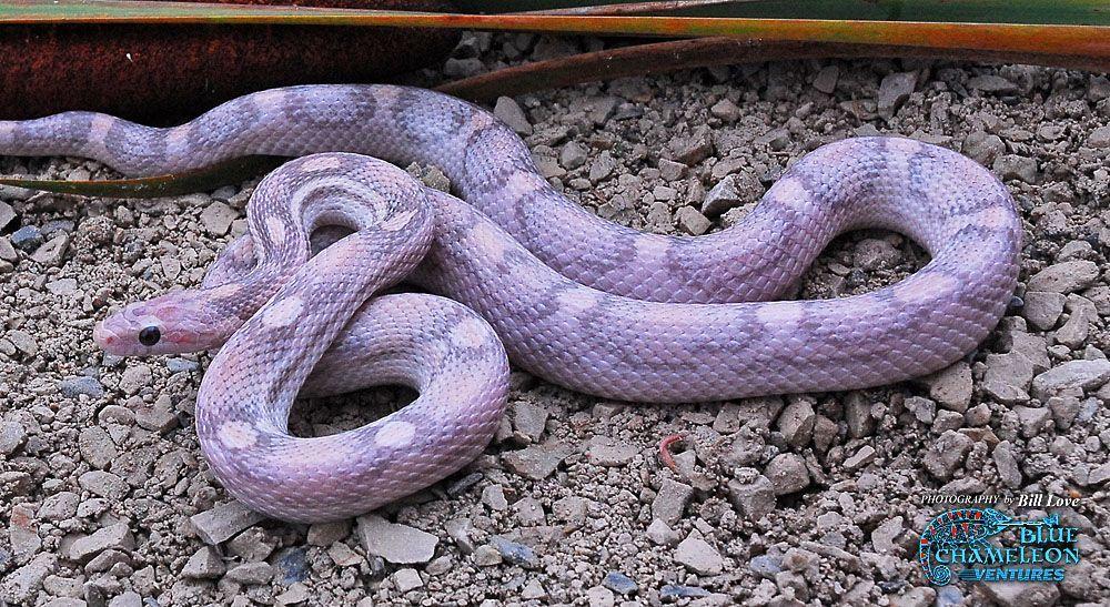 Cool new corn snake morphs  | Snake | Corn snake, Snake