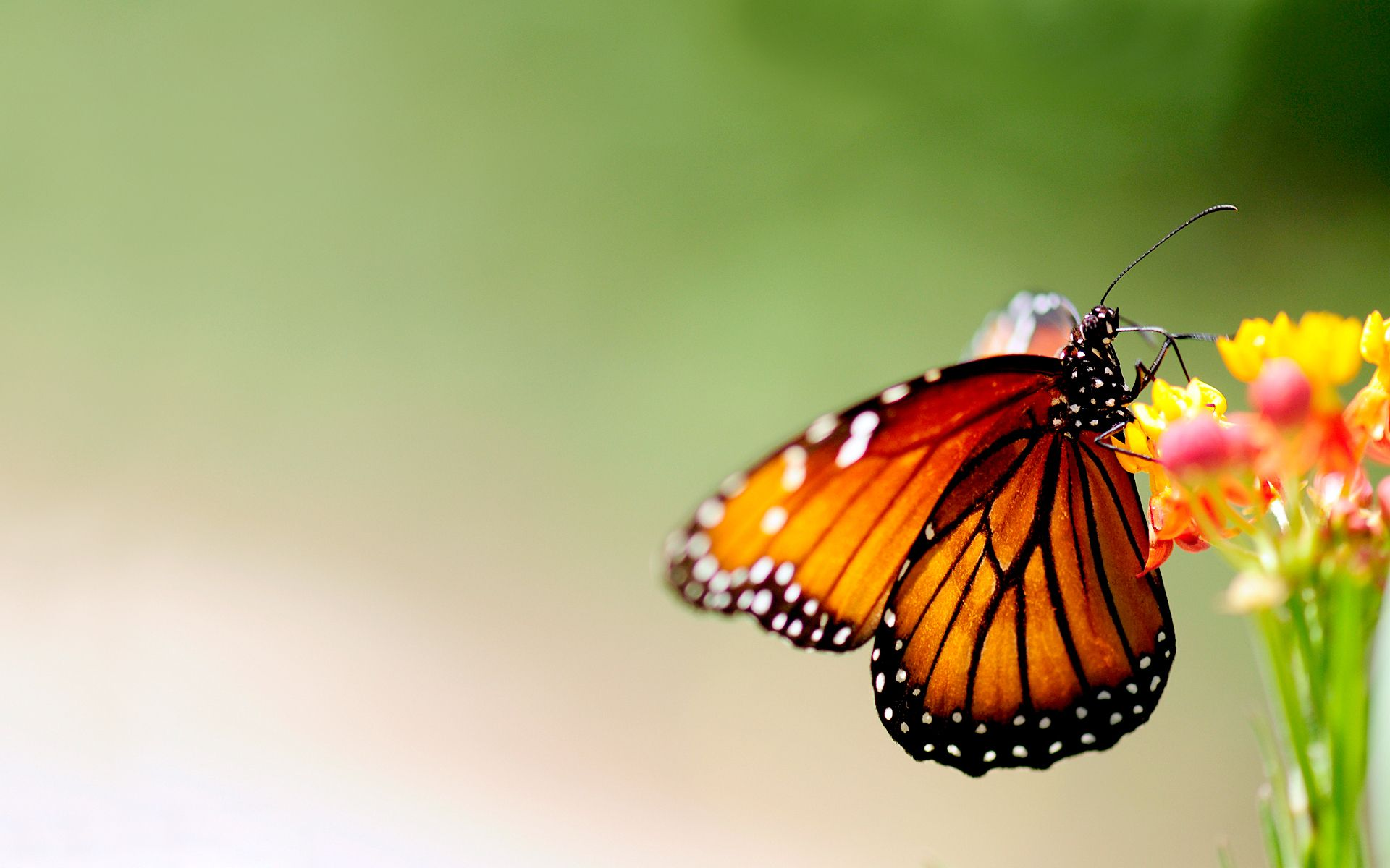 Group Of Monarch Butterfly Sunflower Wallpaper 1920x1200