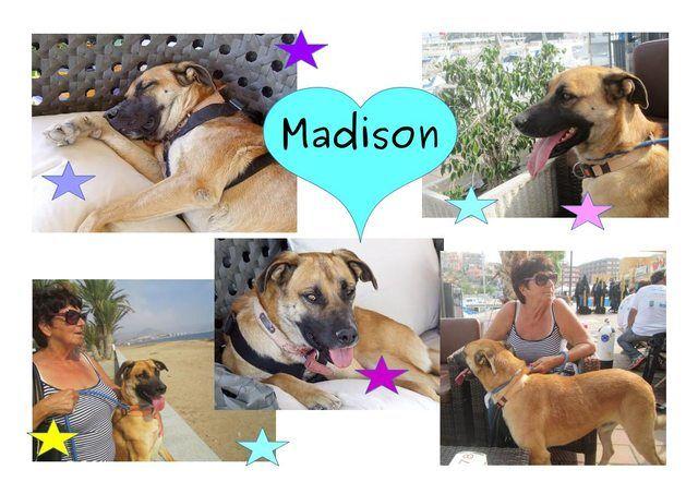 Madison  15 month old male German Shepherd Cross #cutedogs #cute #dogs #dog #pets #babblepets