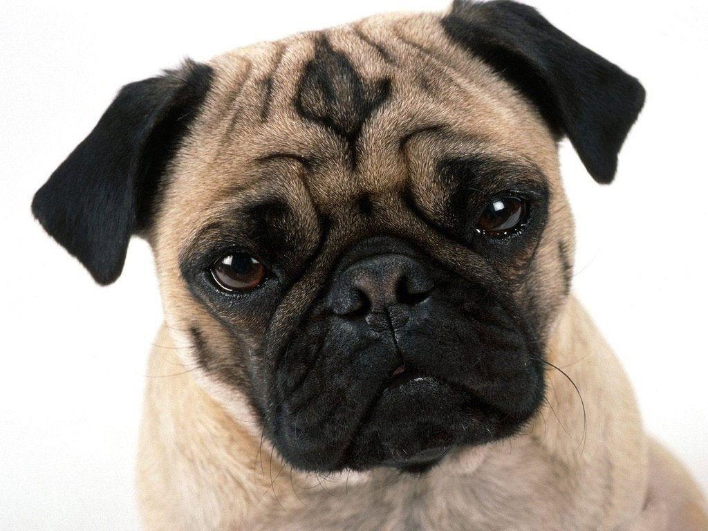 dog Pug (Carlino)
