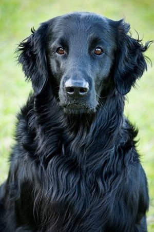 Flat Coated Retriever Our Dog Hoodoo Is A Mix But She Totally