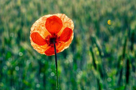 'Mohnblüte im Gegenlicht' von originalaufnahme bei artflakes.com als Poster oder Kunstdruck $20.10