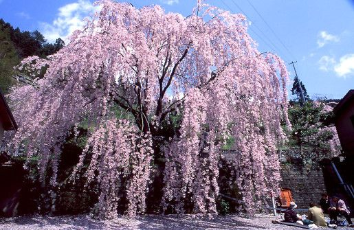 Cerisier A Fleurs Pleureur Outside Flowers Spring Flowers