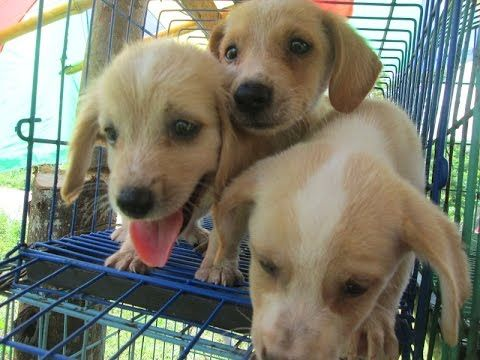 Puppies For Sale At Roadside Pet Store In The Philippines