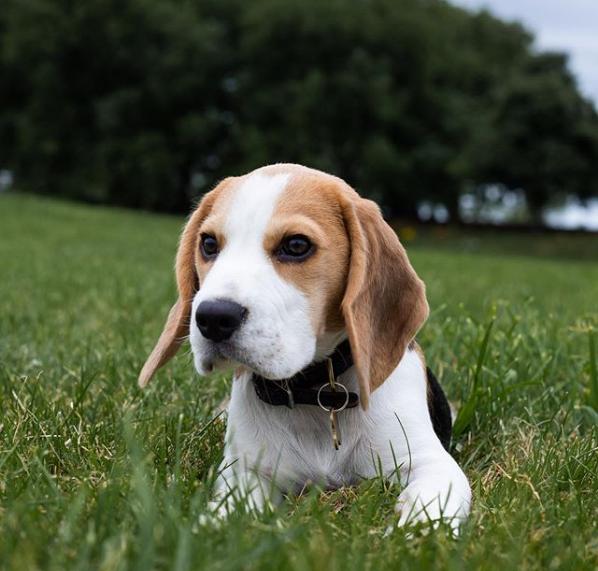 Après tout, cela peut prendre un certain temps pour savoir tout ce que vous devez savoir sur votre nouveau chien beagle. Vous avez peut-être pris connaissance de tous ses comportements, Après tout, cela peut prendre un certain temps pour savoir tout ce que vous devez savoir sur votre nouveau chien beagle.... #beagle #ChienBeagle #dog #beaglelife #beaglelove #beagleworld #beagles #dogs #beaglepuppy #beaglemania #dogstagram #doglover photo for @beagle.hub