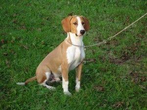 Posavac Hound Dog Breeds Hound Dog Breeds Dogs