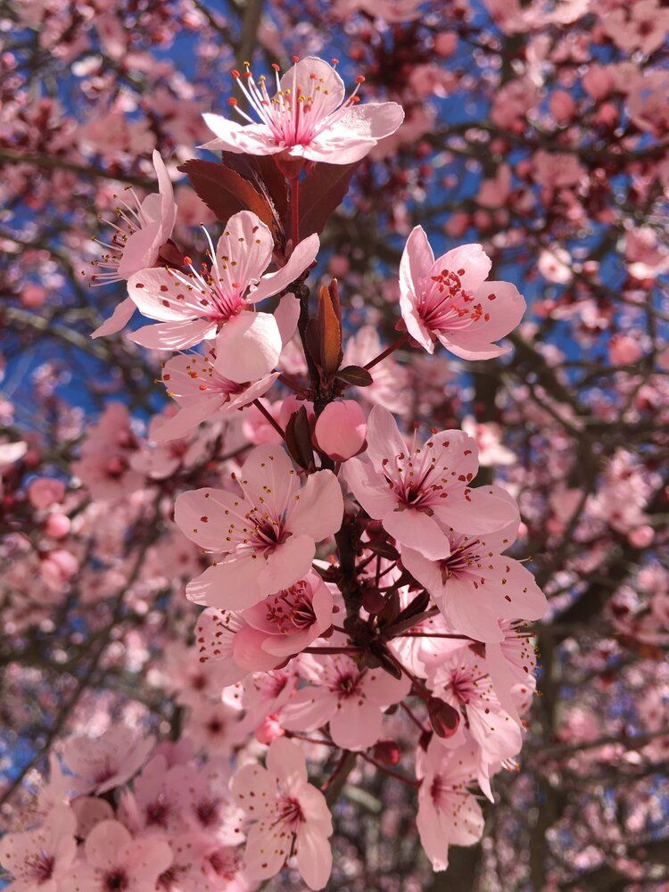 Pin By Kennah On Flowers Wallpaper Nature Flowers Almond Blossom Cherry Blossom Season
