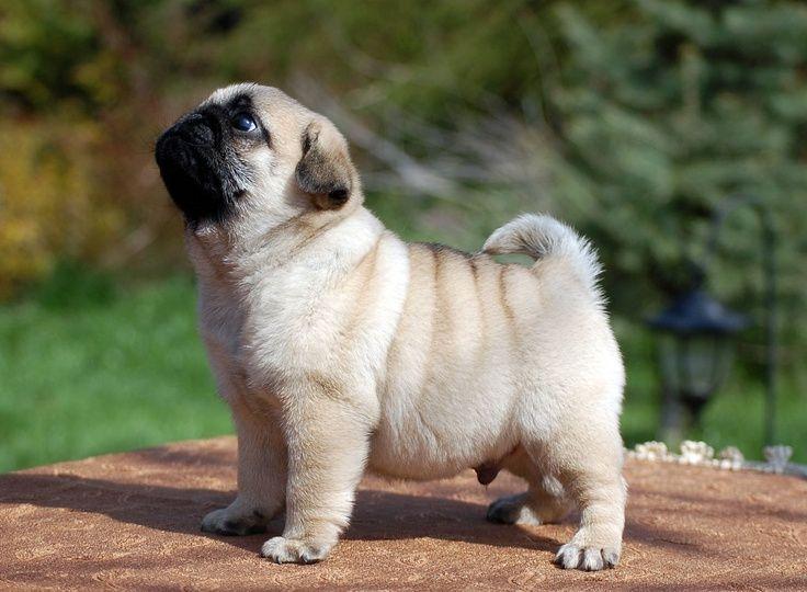 a baby pug