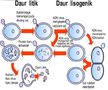 Reproduksi virus beserta penjelasannya httpgurupendidikan reproduksi virus beserta penjelasannya httpgurupendidikan reproduksi virus beserta penjelasannya bengkelhargadotcom pinterest ccuart Choice Image