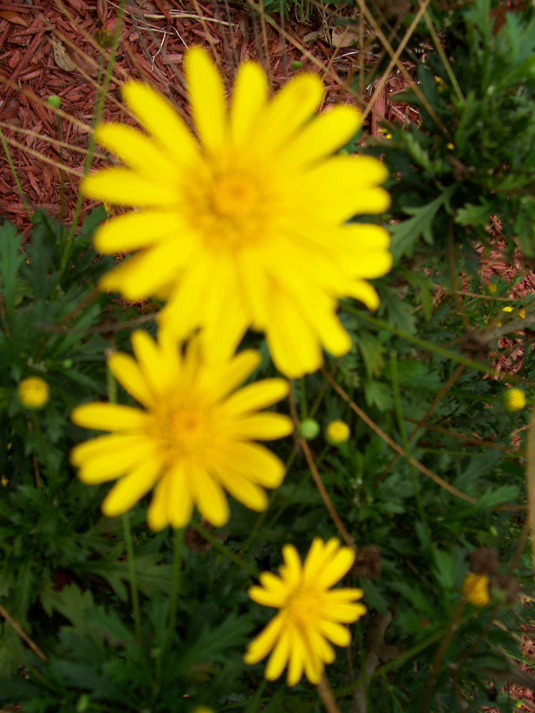 Florida Daisy Florida Flowers Blooming In May Http