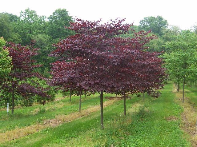 Inventory Redbud Tree