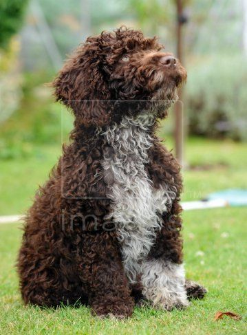 Perro De Agua Espanol Spanish Water Dog Portugese Water Dogs