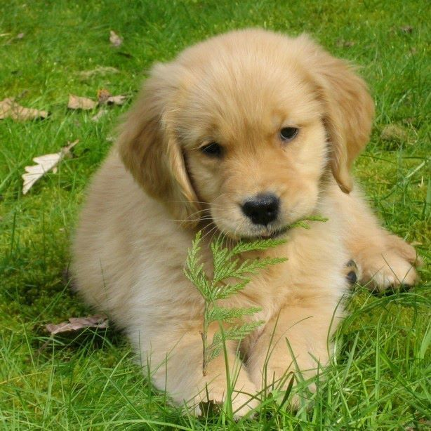 Simple Golden Retriever Chubby Adorable Dog - 980c534c5dbbb9cdce5f1565eb255b51  Pic_683118  .jpg