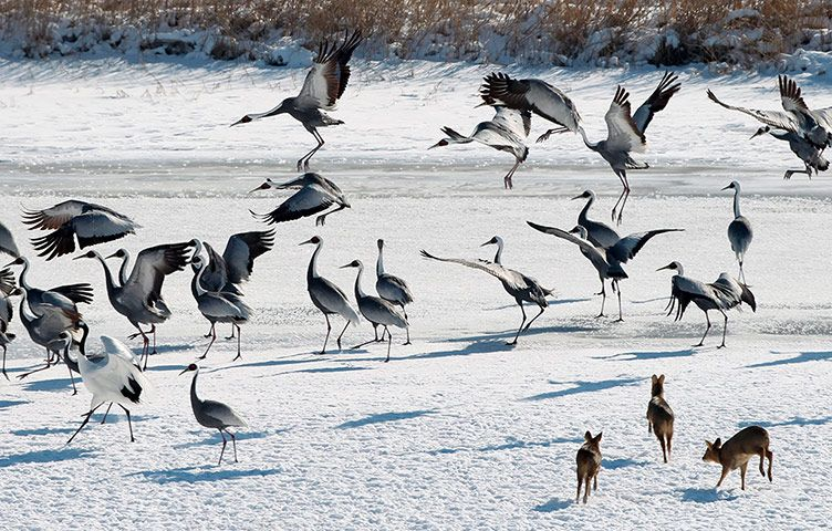 Young elks (front, right) pursue startle cranes in the Cheorwon county, Gangwon province, South KoreaThe week in wildlife - in pictures | Environment | guardian.co.uk