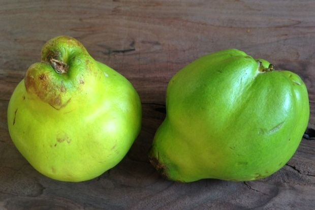 Quince Is A Cheery But Awkward Little Fruit Sort Of A Quasi Apple