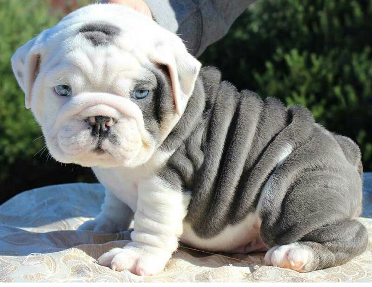 Blue English Bulldog Puppies Ready For Good Homes Cute Baby Animals English Bulldog Puppies Bulldog Puppies