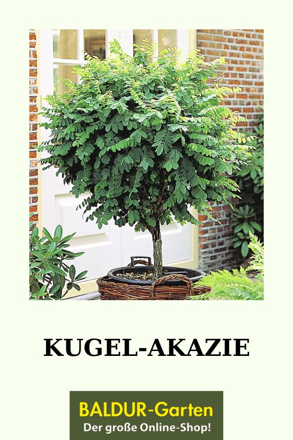 Kugelakazie 1a Stammchen Online Kaufen Baldur Garten In 2020 Kubelpflanzen Bepflanzung Pflanzen
