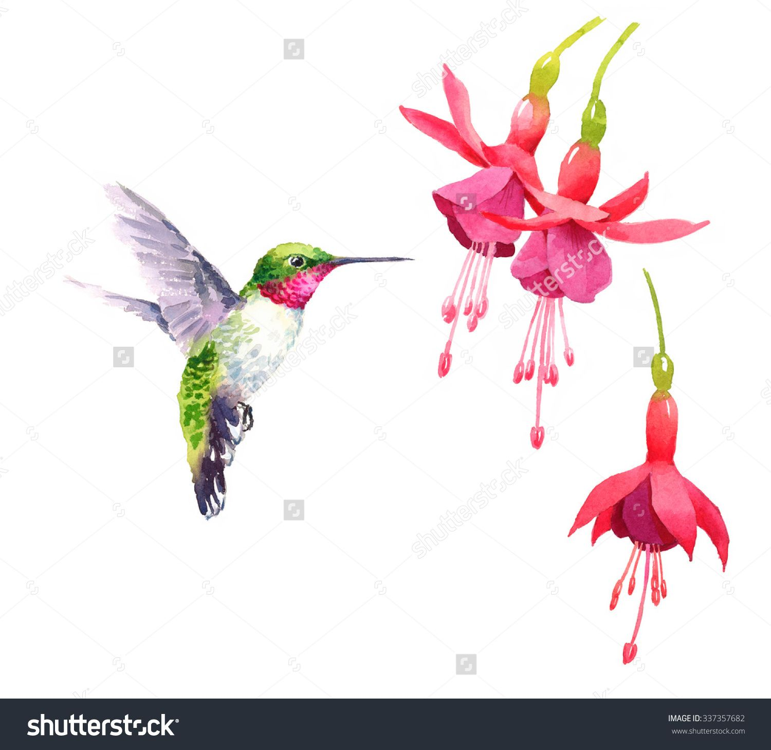 Stock Photo Watercolor Bird Hummingbird Flying Around The Fuchsia Flowers Hand Drawn Summer Watercolor Hummingbird Watercolor Bird Watercolor Flowers Paintings