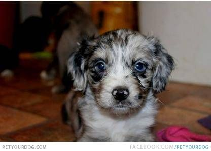 D 464 Cotralian Puppy Dog Pictures Puppies For Sale