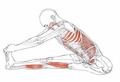 janu sirsasana  yoga anatomy yoga muscles yoga