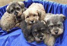 Pin By Ms Intriguing On Ilove Teacup Puppies Schnoodle Puppies Poodle Dog