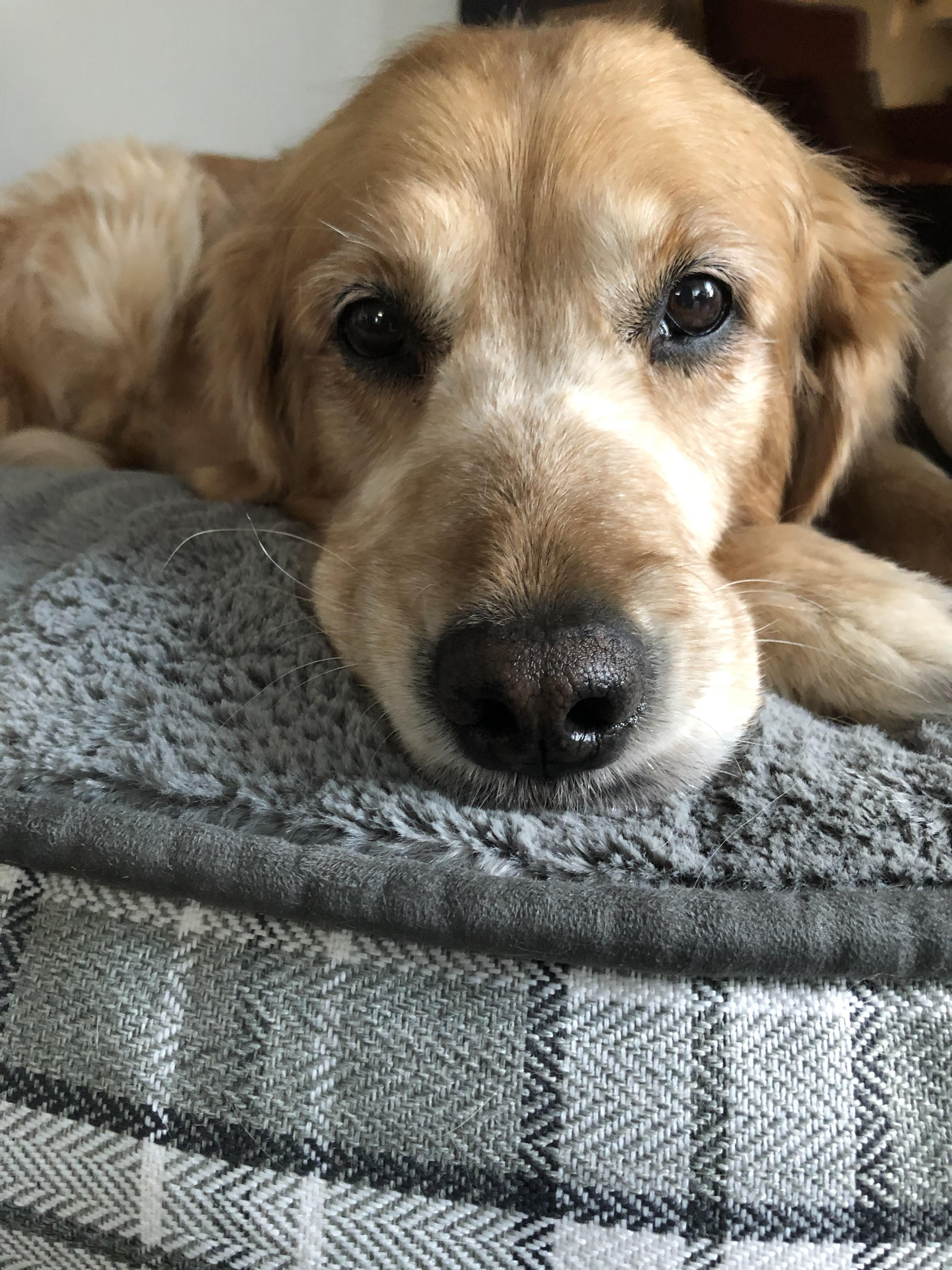 Staring Into Your Soul Animals Beautiful Golden Retriever Puppy Dog Gifs