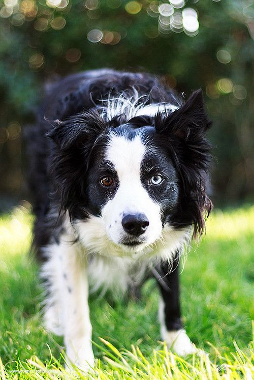Border Collie - here's that BC eye you want to see in working dogs!