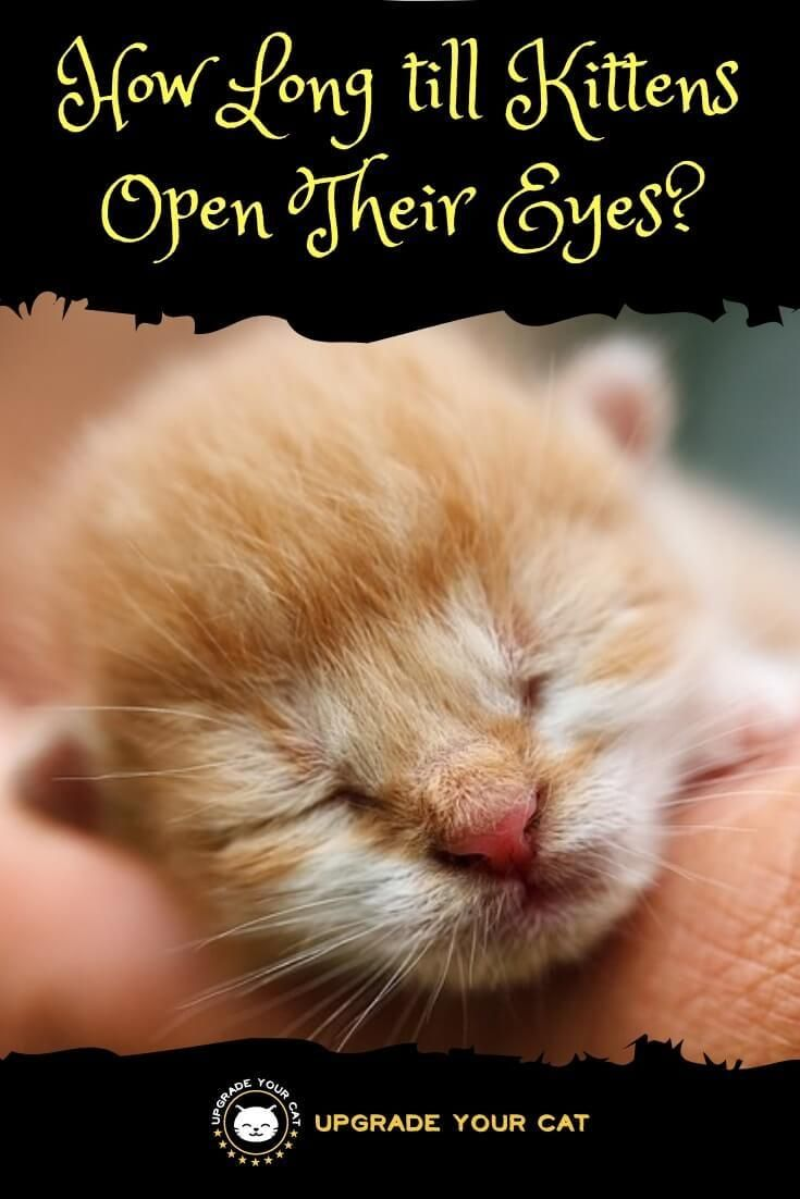 How Long Till Kittens Open Their Eyes After Being Born Here S Everything You Need To Know About Newborn Kitten Development Kitten Eyes Kittens Newborn Kittens