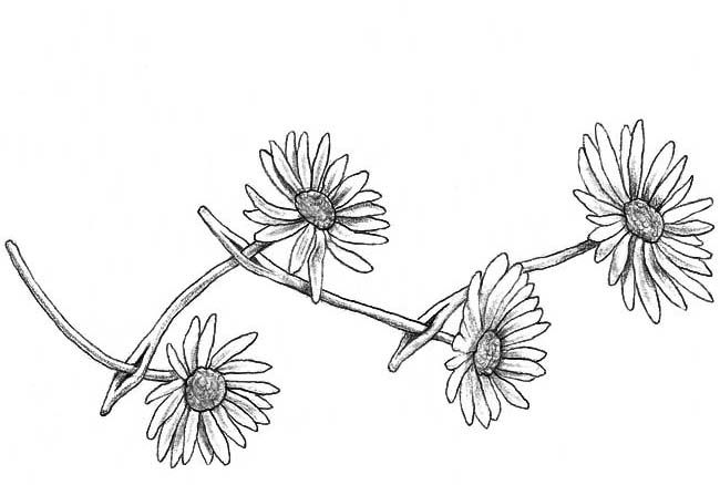 81449cfcb free tumblr black and white - Buscar con Google Small Daisy Tattoo, Daisy  Chain Tattoo