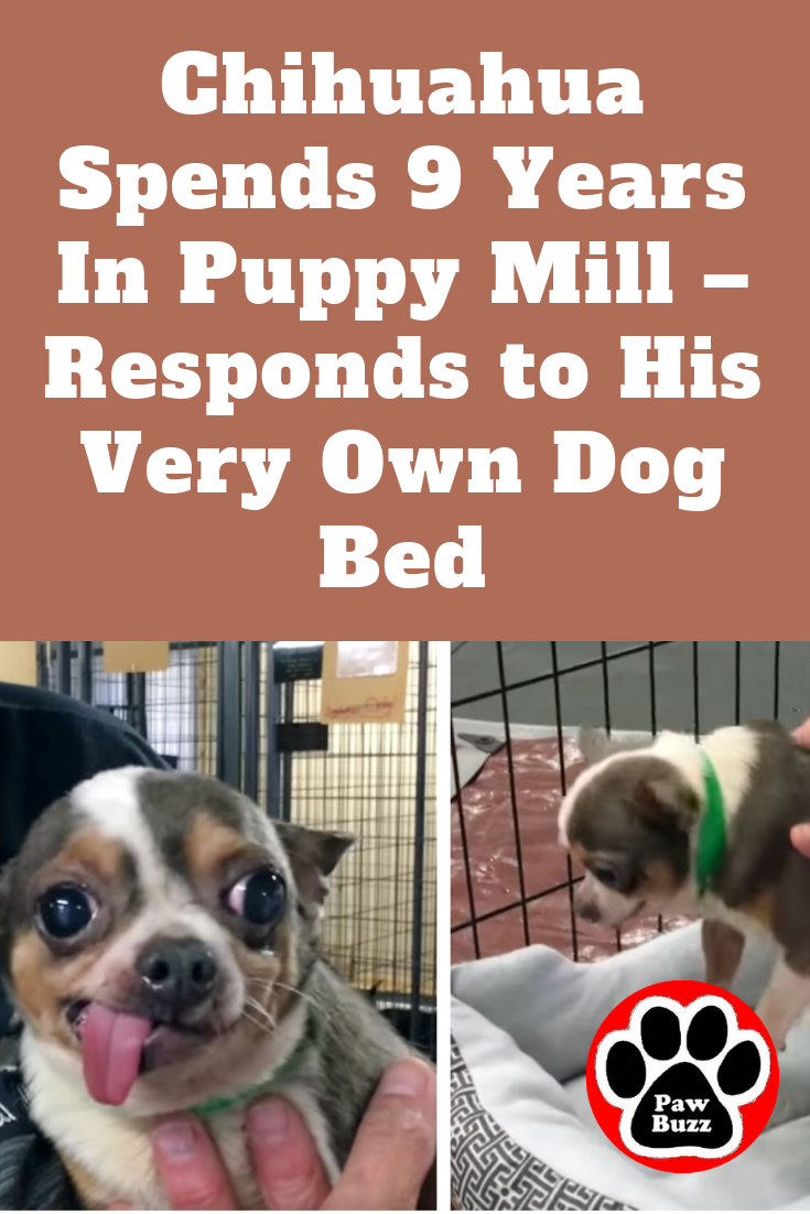 Chihuahua Spends 9 Years In Puppy Mill Responds To His Very Own Dog Bed Dog Bed Dogs Chihuahua Puppies