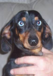 Purebred Dachshund Puppies For Sale Find A Purebred Dog Breeder