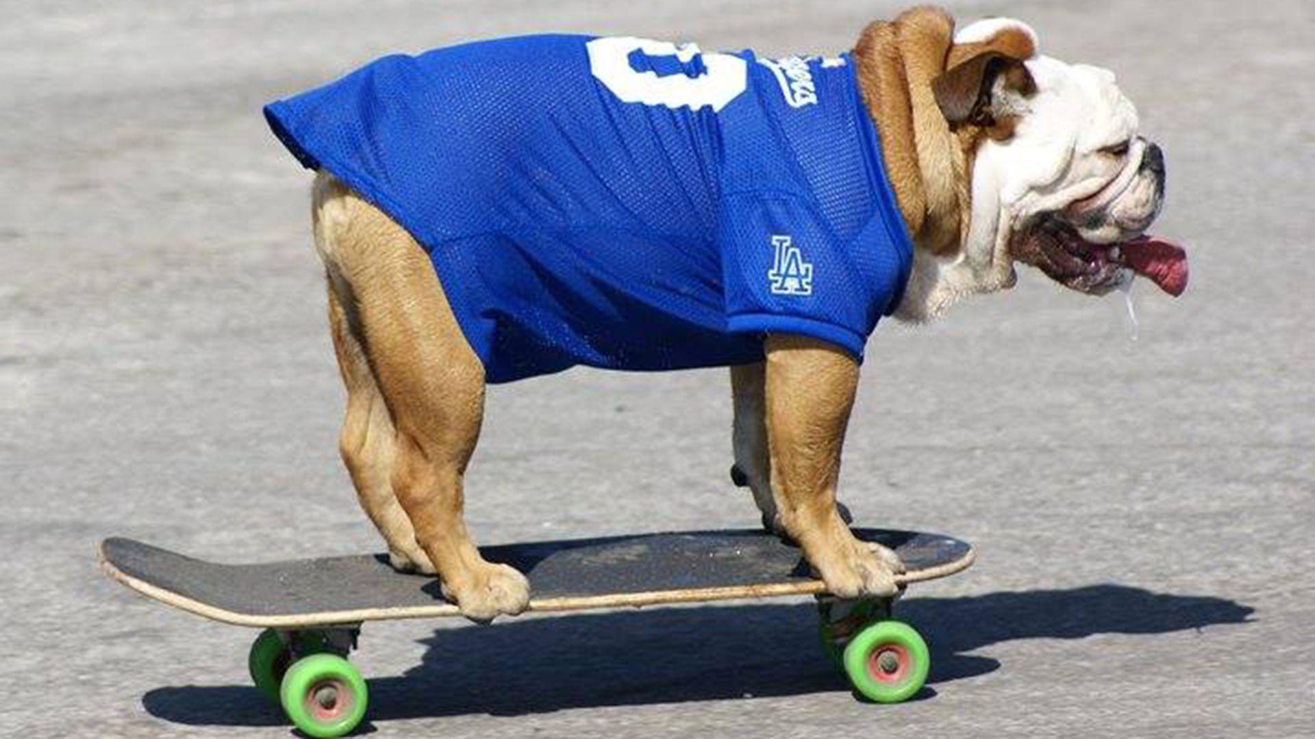 Tillman The World Record Holding Skateboarding Dog Dies English Bulldog Skateboard Bulldog