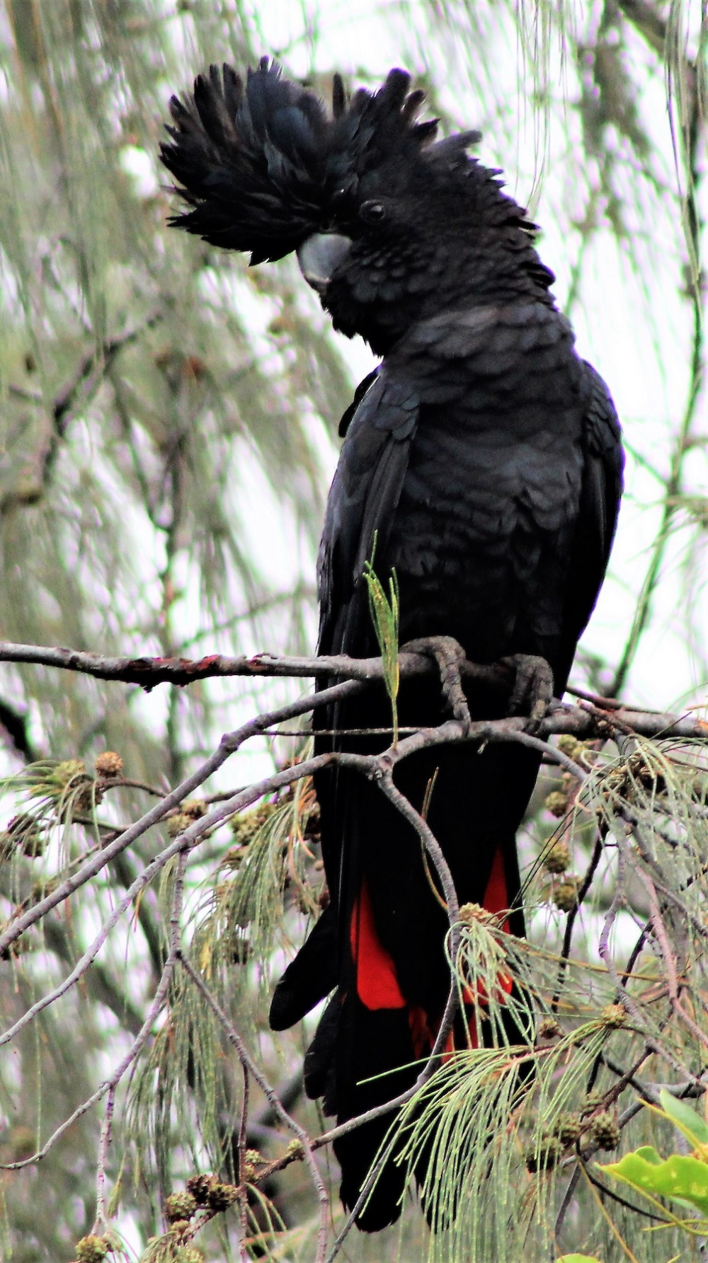 Red-tailed Black-Cockatoo Macaulay Library ML162001471