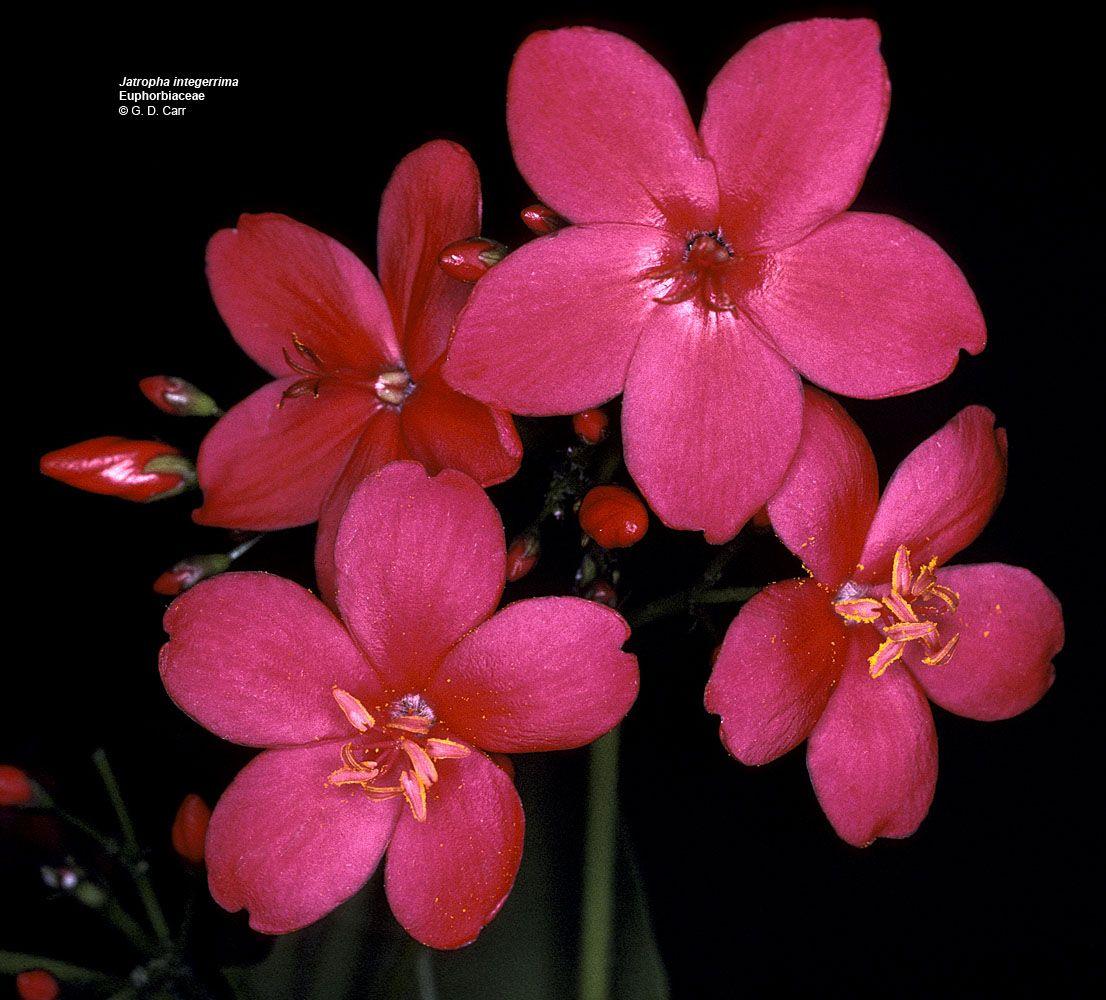 Hawaiian flower flowering plant families uh botany flower hawaiian flower flowering plant families uh botany izmirmasajfo