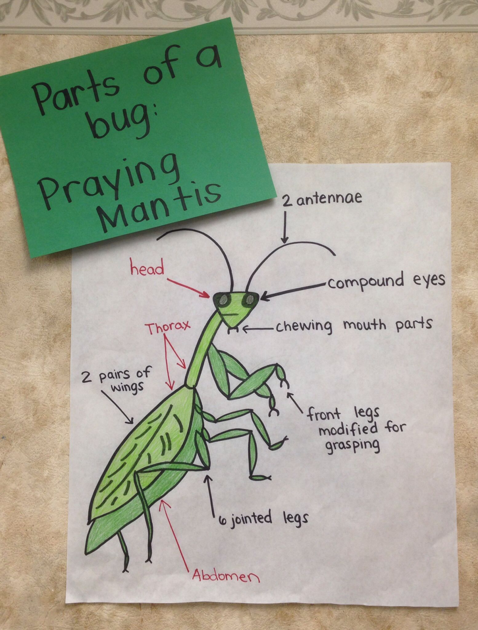 Parts Of A Praying Mantis Chart Cycle For Kids Preschool Curriculum Activities Praying Mantis Life Cycle