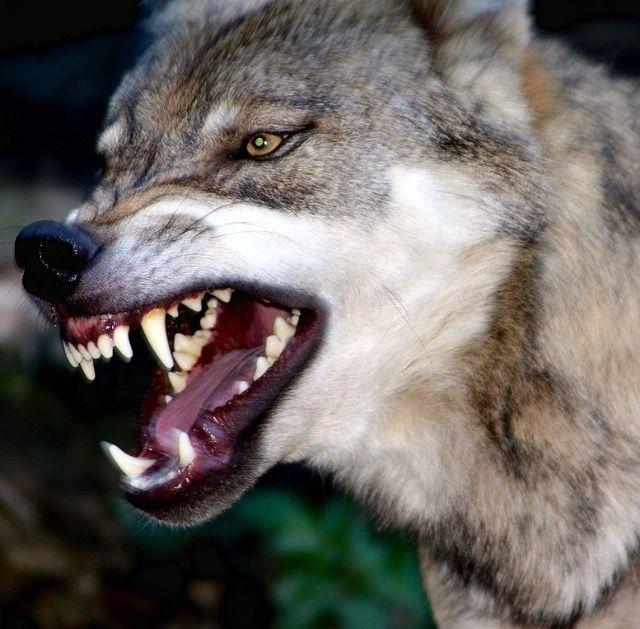 Pin von Adele Durden auf World Of Wolves | Pinterest | Wolf und Tier