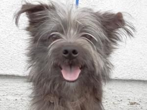 Louie is an adoptable Terrier Dog in Hawthorne, CA. Looking for a beginner dog? Look no further! I am a fun-loving boy who is housetrained and walks well on a leash. Not only do I love to be brushed, ...