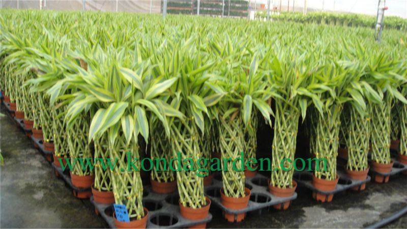 0 Buy 1 Product On Alibaba Com Lucky Bamboo Plants