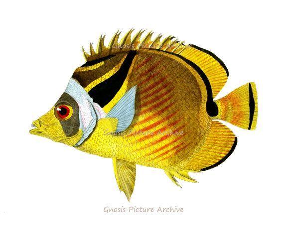 Antique Fish Print No.4 yellow black Tropical coral reef fish Wall ...