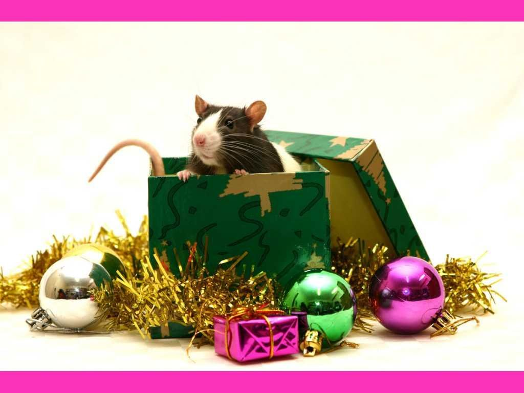 christmas rat - Hledat Googlem | Pet Rats | Pinterest | Rats and ...