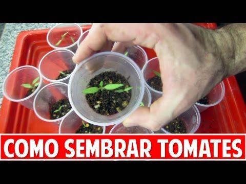 Sembramos Tomate y damos consejos sobre cómo cuidar los plantines durante las primeras semanas de vida. Este es el método que yo uso para sembrar tomates desde semilla. Hablamos de como sembrar, qué sustrato utilizar, riego, etc. Cuál es el método preferido por ustedes? se animan a contarmelo acá abajo?